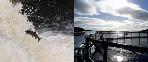 Image 1: Salmon leaping at the Falls of Shinn; image 2: fish farm in Eilean Siar
